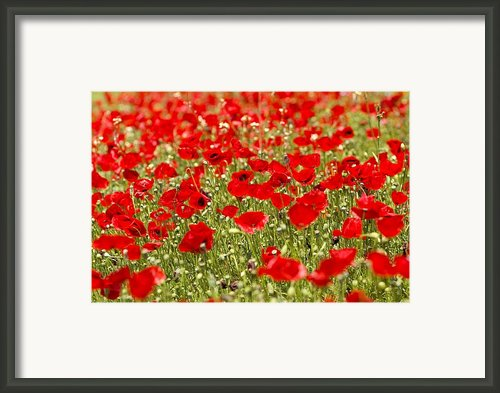A Field Of Poppies Framed Print By Richard Nowitz