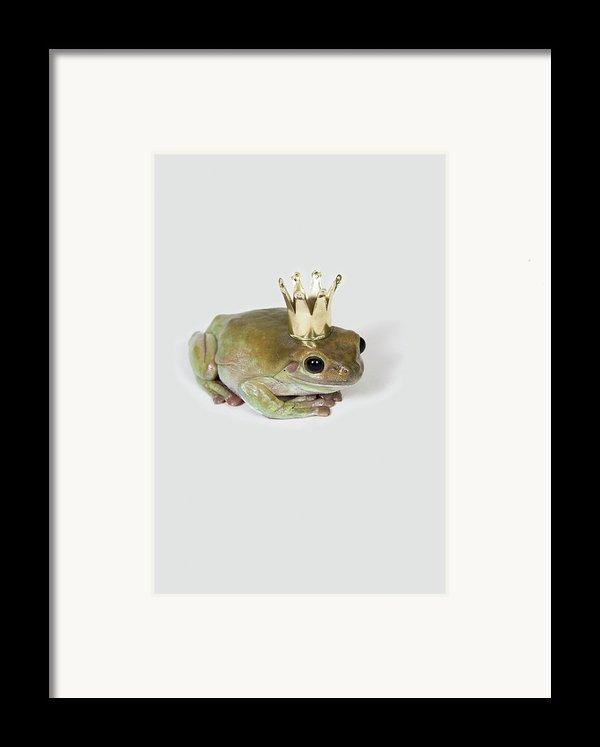 A Frog Wearing A Crown, Studio Shot Framed Print By Paul Hudson