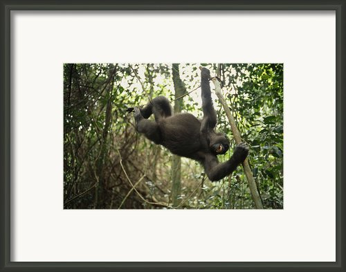 A Gorilla Swinging From A Vine Framed Print By Michael Nichols