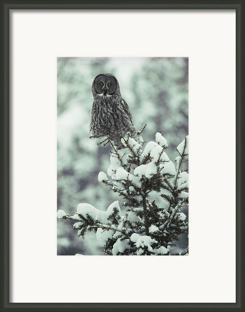 A Great Gray Owl Strix Nebulosa Perches Framed Print By Tom Murphy