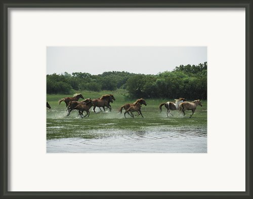 A Herd Of Chincoteague Ponies Thunder Framed Print By Medford Taylor