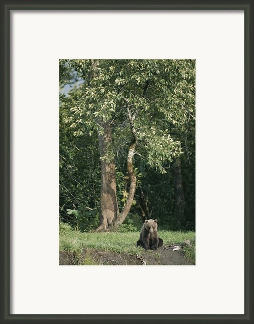 A Kodiak Brown Bear On The Bank Framed Print By George F. Mobley