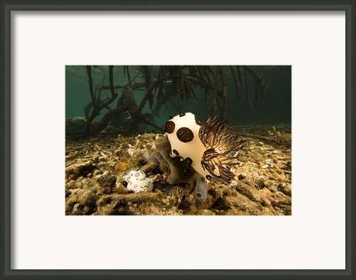 A Large Nudibranch Feeds On A Sponge Framed Print By Tim Laman