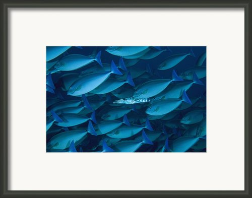 A Lone Barracuda In A School Framed Print By David Doubilet
