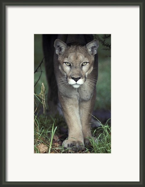 A Mesmerising Glare Of A Stalking Puma Framed Print By Jason Edwards
