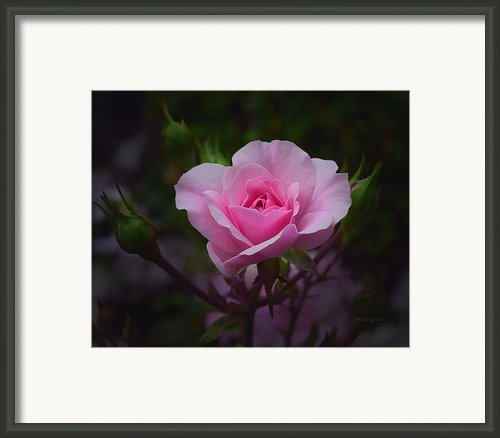 A Pink Rose Framed Print By Xueling Zou