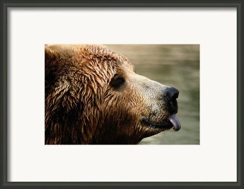 A Portrait Of A Captive Kodiak Brown Framed Print By Tim Laman
