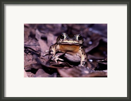 A Rain Forest Toad Of The Family Framed Print By Mattias Klum