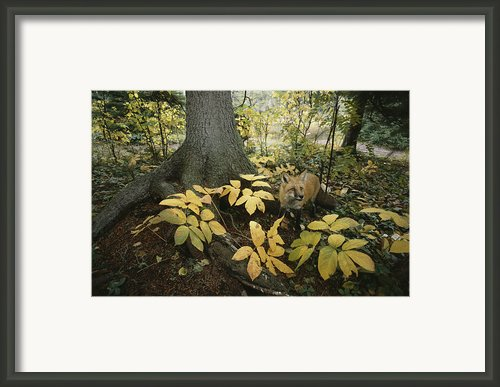 A Red Fox On Isle Royale In Lake Framed Print By Annie Griffiths