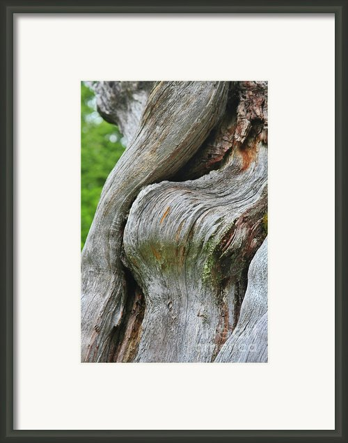 A Remarkable Tree - Duncan Western Red Cedar Olympic National Park Wa Framed Print By Christine Till