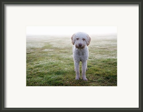 A Spanish Water Dog Standing A Field Framed Print By Julia Christe