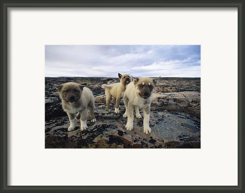 A Trio Of Growling Husky Puppies Framed Print By Paul Nicklen