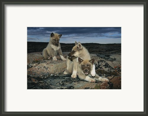 A Trio Of Playful Husky Puppies Framed Print By Paul Nicklen