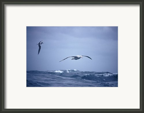 A Wandering Albatross Gliding In Flight Framed Print By Jason Edwards
