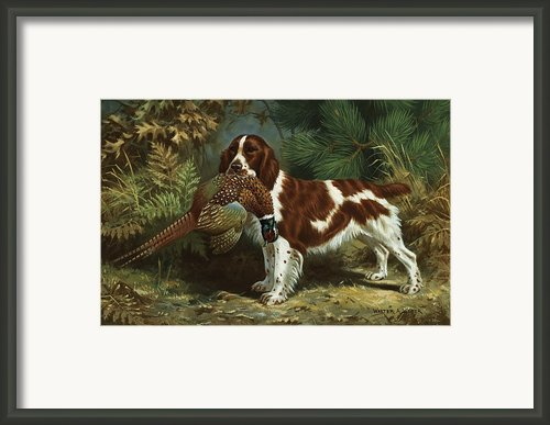 A Welsh Springer Spaniel Holds A Dead Framed Print By Walter A. Weber
