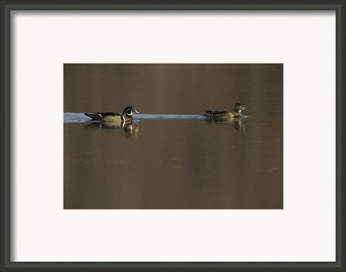A Wood Duck Aix Sponsa Pair Framed Print By Tim Laman