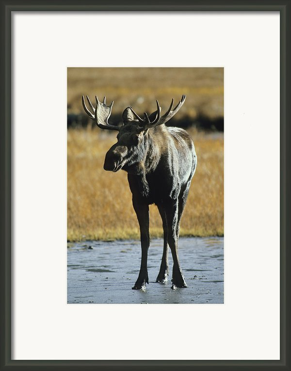 A Young Bull Moose Framed Print By George F. Herben