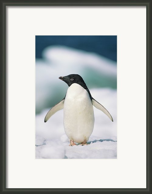 Adelie Penguin, Close-up Framed Print By Tom Brakefield