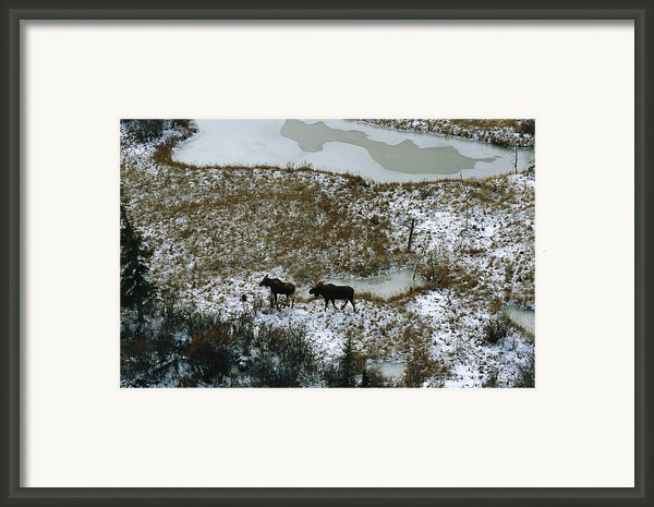 Aerial Of A Male And Female Moose Framed Print By Norbert Rosing