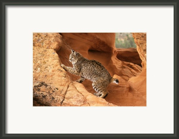 Alert Bobcat Framed Print By Larry Allan