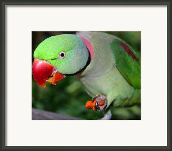 Alexandrine Parrot Feeding Framed Print By Artphoto-ralph A  Ledergerber-photography
