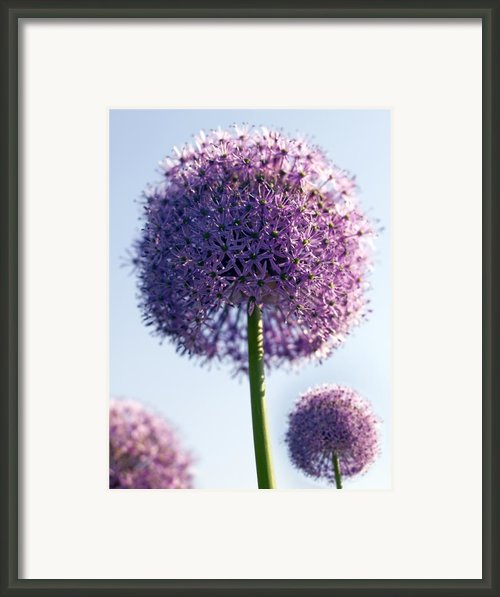 Allium Flower Framed Print By Tony Cordoza