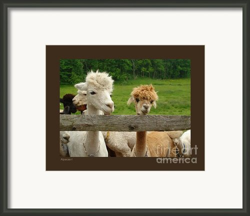 Alpacas-i Framed Print By Patricia Overmoyer