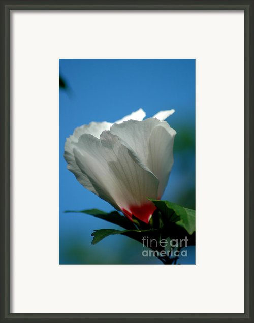 Althea Flower Framed Print By David Weeks