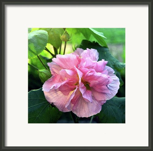 Althea Rose Of Sharon Framed Print By Kevin Smith