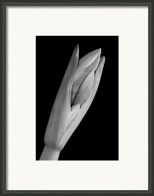 Amaryllis Hippeastrum Starting To Bloom In Black And White Framed Print By James Bo Insogna
