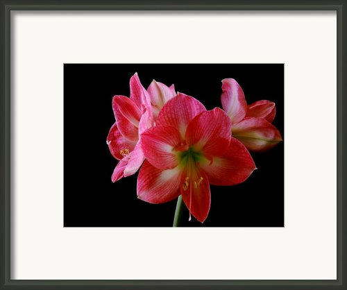 Amaryllis Framed Print By The Stone Age