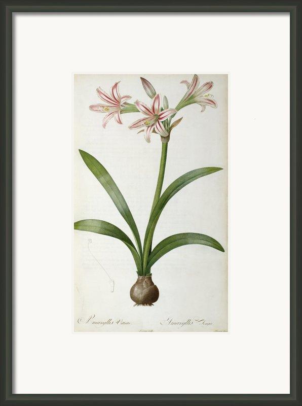 Amaryllis Vittata Framed Print By Pierre Redoute