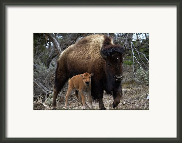 American Bison And Calf Framed Print By Rob Daugherty - Robswildlife.com