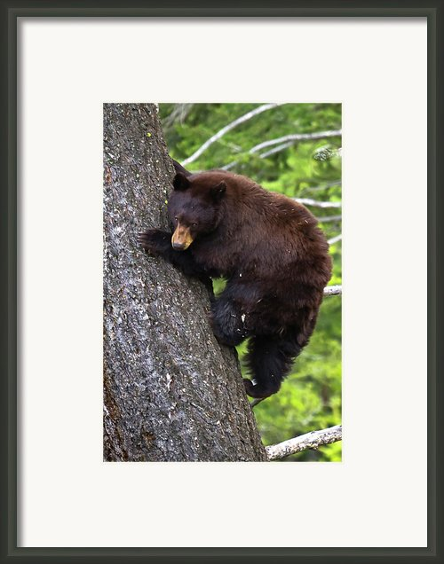 American Black Bear Framed Print By Rob Daugherty - Robswildlife.com
