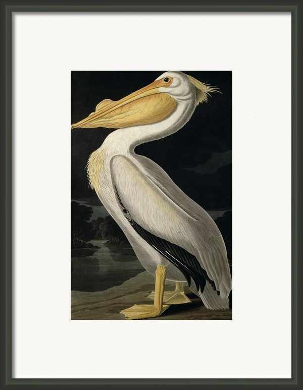 American White Pelican Framed Print By John James Audubon