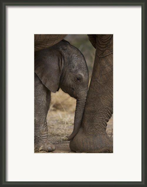 An Elephant Calf Finds Shelter Amid Framed Print By Michael Nichols