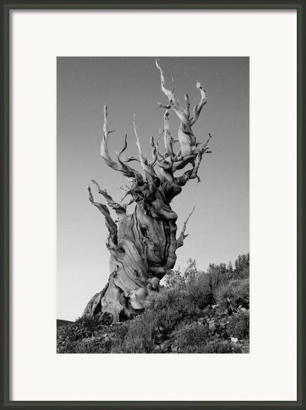 Ancient Bristlecone Pine Framed Print By Daniel Ryan