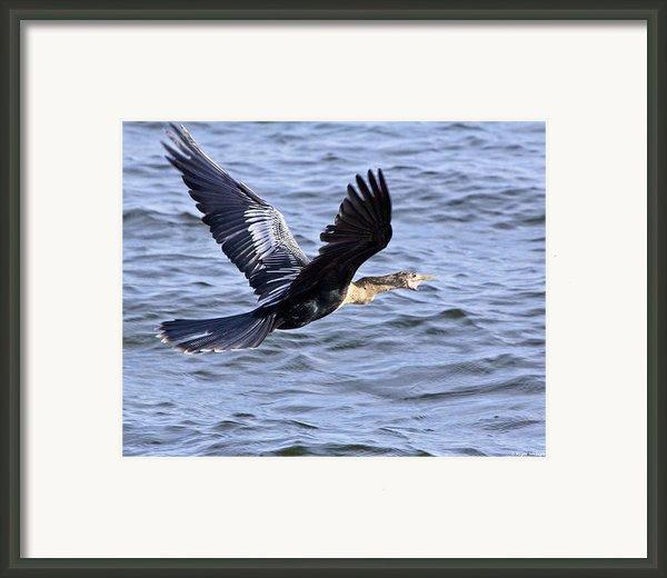 Anhinga In Flight Framed Print By Roger Wedegis