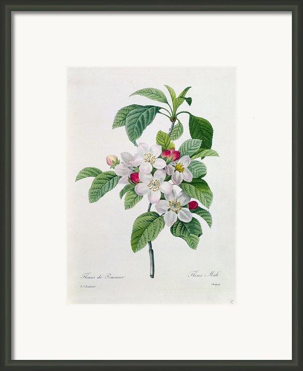 Apple Blossom Framed Print By Pierre Joseph Redoute