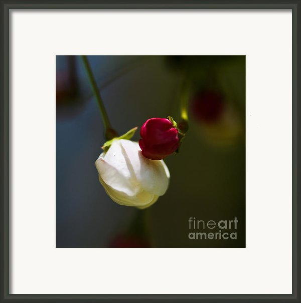 Apple Blossom Time Framed Print By Mitch Shindelbower