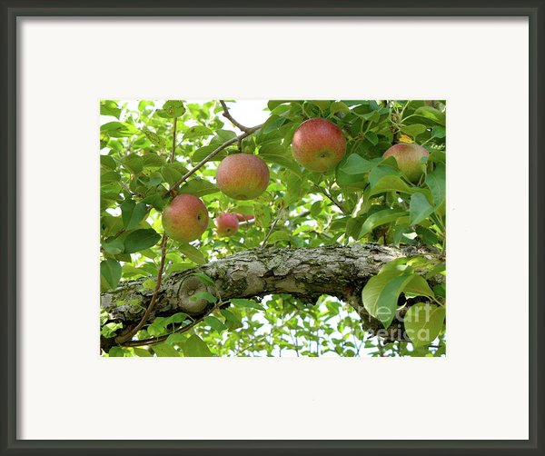 Apple Pickers Dream Framed Print By Lynn-marie Gildersleeve