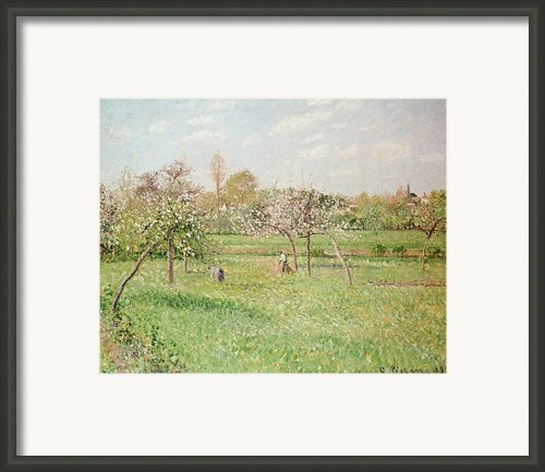 Apple Trees At Gragny Framed Print By Camille Pissarro