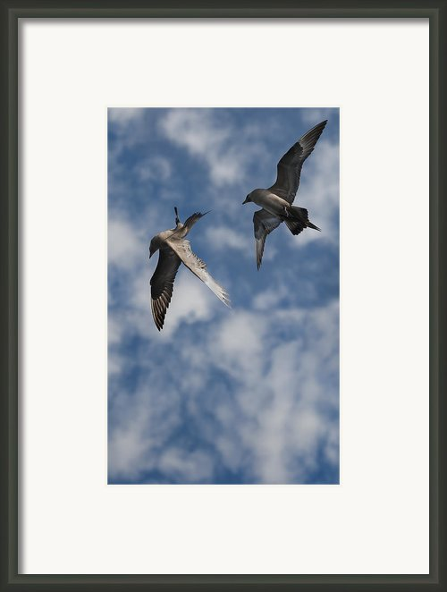 Arctic Skuas Framed Print By Andy Astbury