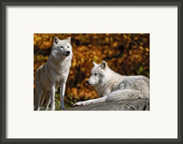 Arctic Wolves On Rocks Framed Print By Michael Cummings