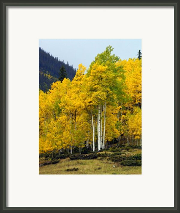 Aspen Fall 3 Framed Print By Marty Koch