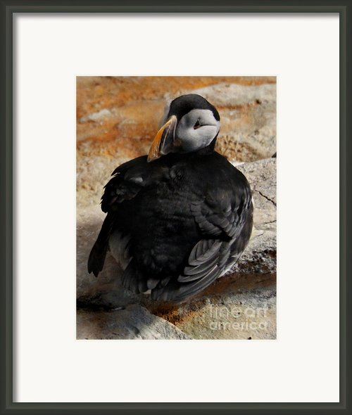 Atlantic Puffin Framed Print By Lee Dos Santos