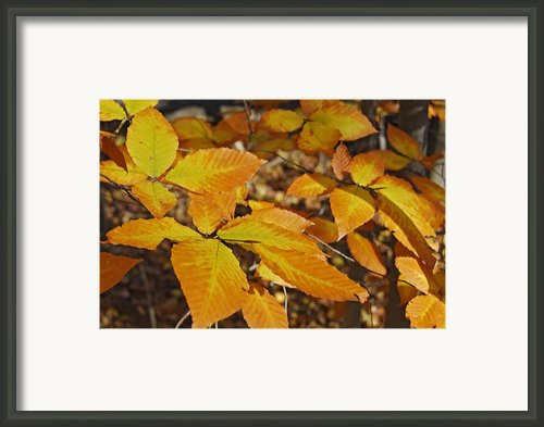 Autumn Beech  Framed Print By Michael Peychich