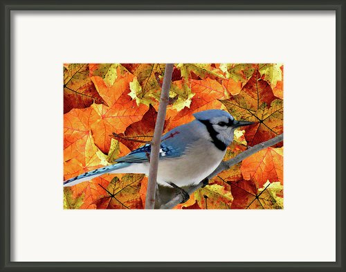 Autumn Blue Jay Framed Print By Debra     Vatalaro