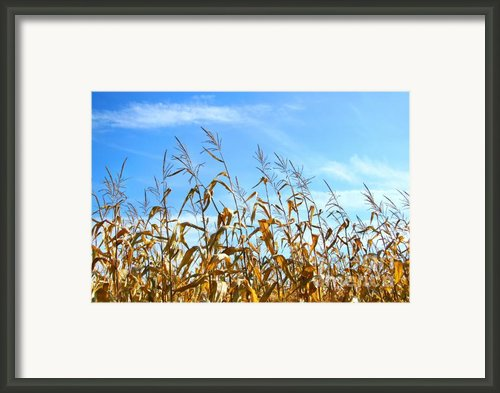 Autumn Corn Framed Print By Sandra Cunningham