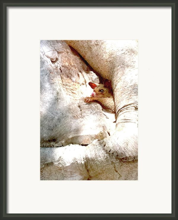 Baby Brushtail Possum 2 Framed Print By Darren Stein